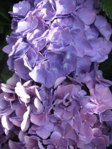 Purply Hydrangeas