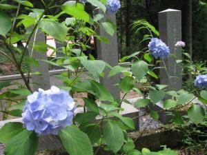 Graveyard Hydrangeas